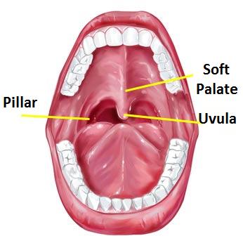 uvula | news | dentagama uvula diagram