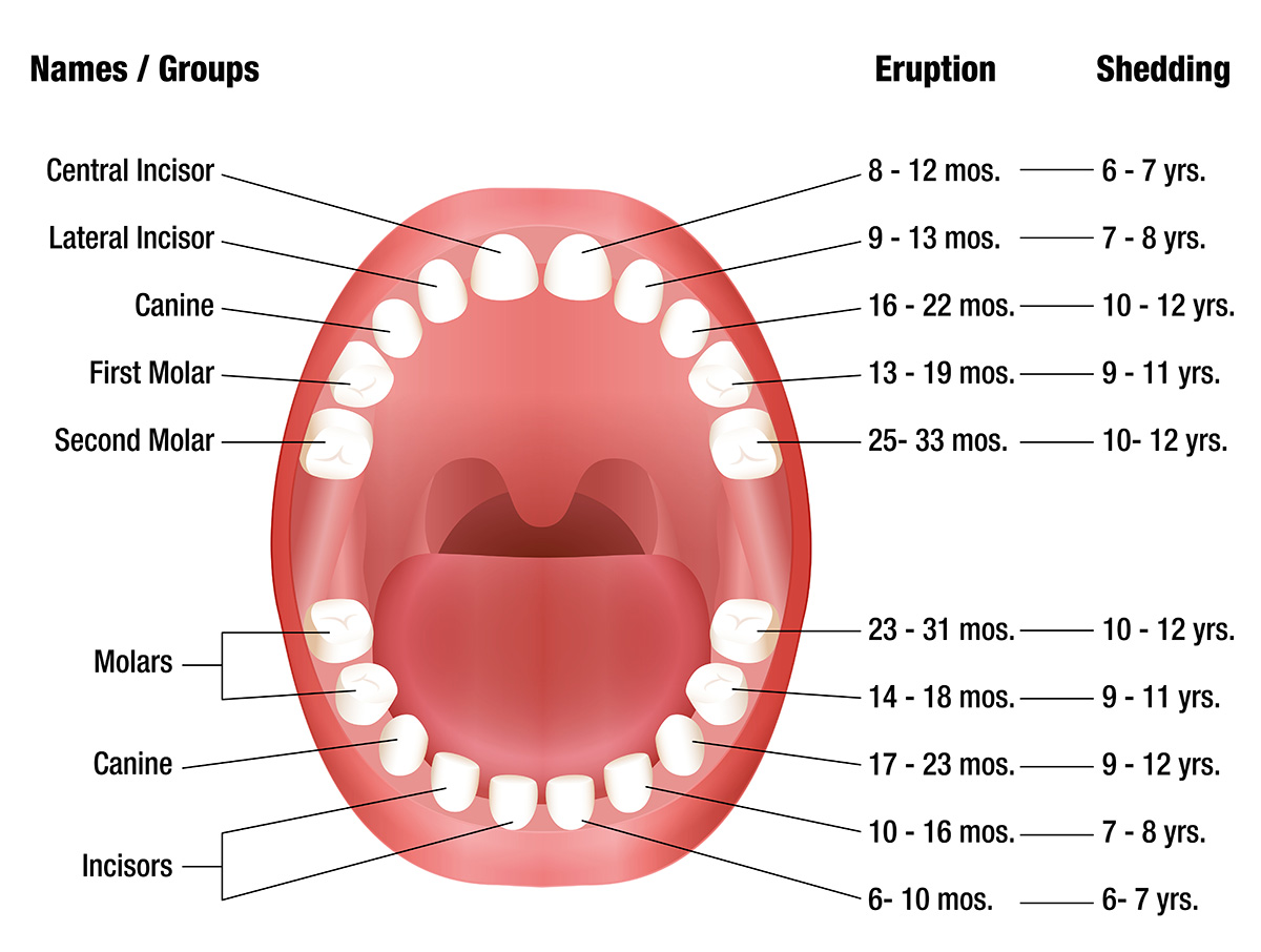 Teeth eruption chart for deciduous and permanent teeth | News ...