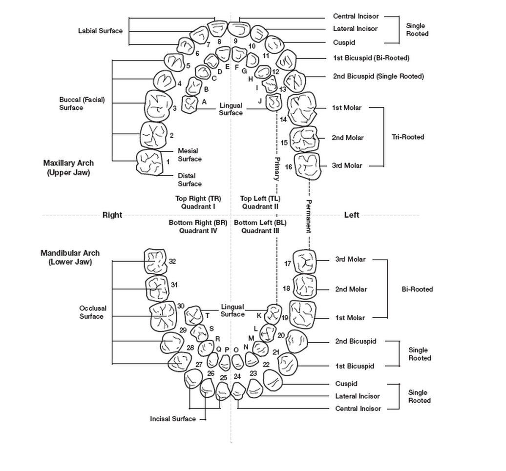 Tooth Numbering Systems In Dentistry