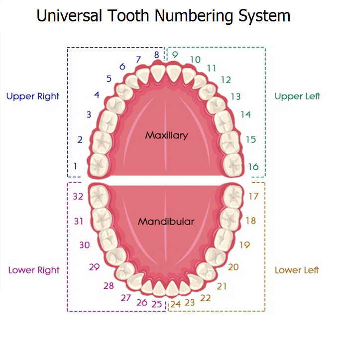 Tooth numbering systems in dentistry news dentagama tooth numbering systems in dentistry ccuart Images