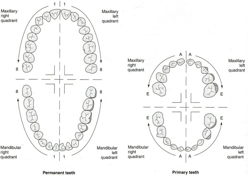 Tooth numbering systems in dentistry news dentagama the palmer dental numbering system is known as the european tooth numbering system ccuart Images