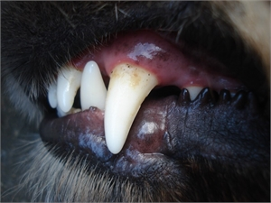 Gum disease and gingivitis in dogs