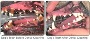 Dental Cleaning for Dog with Gum Disease and Gingivitis - before and after