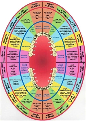 Meridian tooth chart. Teeth to organs relationship