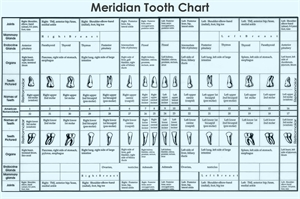 Meridian tooth chart represents connection between human organs and teeth