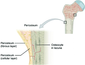 What is Periosteum?