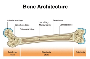 Bone composition and architecture. Periosteum helps with bone regeneration, healing and reconstruction