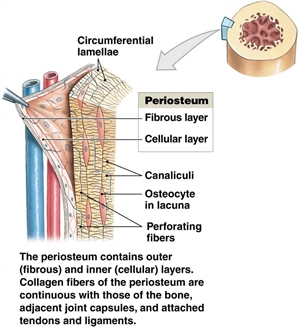 Periosteum consists of blood vessels, connective tissue and nerve supply. Periosteum provides healing, growing and maturing of the bone structure