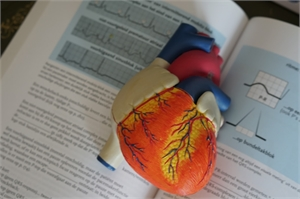 Heart teaching model for medical students