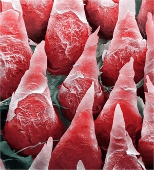 Microscopic view of the tongue taste buds. They are responsible for the taste sensation and are located on the surface of the tongue.